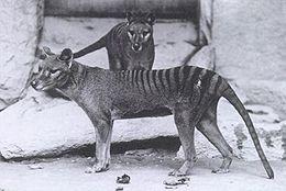 Thylacinus - An extinct Austrialian Marsupual also known as the Austrialian Tiger.