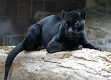 Jaguar - A black Jaguar. Another name is a black panther. Leopards can also be found in black,too.