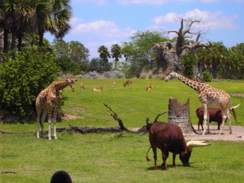 AVATAR a Good Fit for DAK? - Disney's Animal Kingdom is not just about animals - it's about adventure and environmental protection. Thus, placing a themed land for [i]AVATAR[/i] would be fitting for the park. (Photo of animals at Kilimanjaro Safaris by author, 2009)