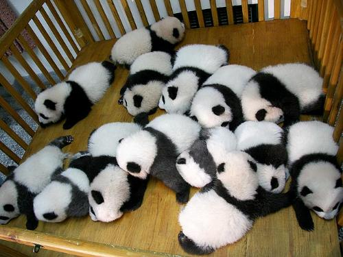 Sleeping babies - A group of baby panda's taking a nap. So cute!