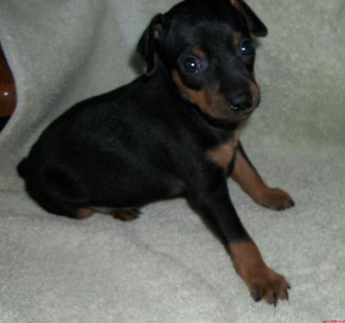 Min Pin - This is the puppy I really would like to get... got one for sale? lol