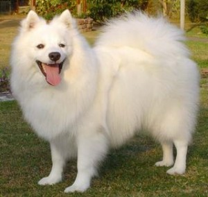 Japanese white small dog - Whitey's look-alike
