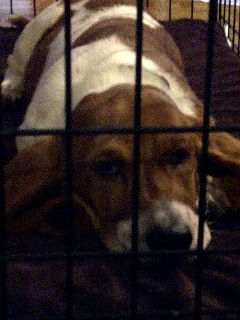 Rosie in jail - Rosie in her crate.