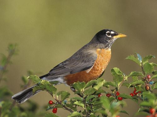 American Robin - American Robin Perching on a Branch