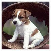 Jack Russel Terrier - this is a jack russel it's not my puppy but looks just like him