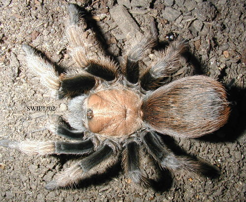 Desert Blonde Tarantula - A Desert Blonde Tarantula that has a usual habitat in the Arizona.