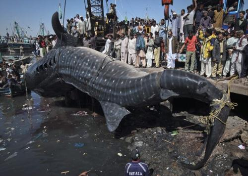 Gaint Whale Shark Washes ashore................... - Gaint Whale Shark Washes ashore...........