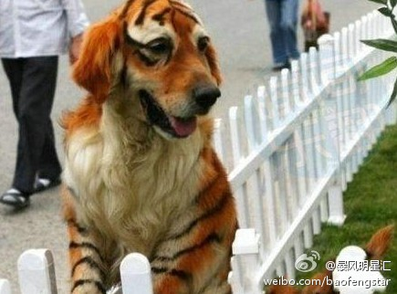 dog - dog dyed like a tiger