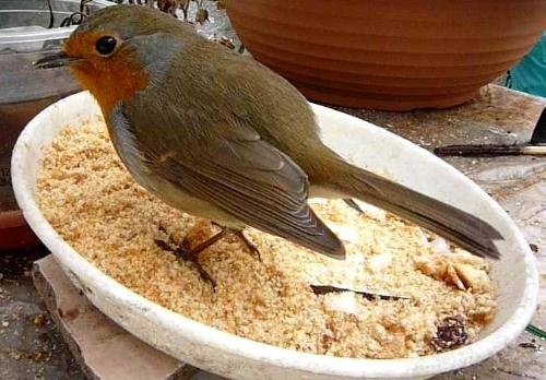 Robin - Our little red friend from the skies.