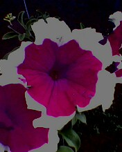 petunia - here is a sample of my ornamental plant