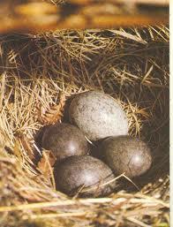 cuckoo  - an egg of a cuckoo bird laid in a host nest