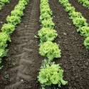 these were planted on akshya trutia - these lettuce were planted on akshya trutiya
