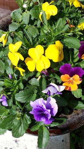 pansies - Pansies in a flower pot close up