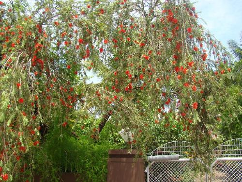 Bottle Brush - It is a joy to watch this tree when in full bloom