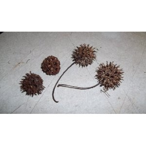 Sweet Gum Seed Pods - These are the seed pods from the sweet gum tree.