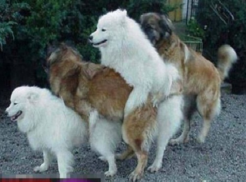 4 dogs are mating together!!!! - What a exciting scene, 4 dogs together?!! I wonder is there any female dog among them???  I think they are all male dogs...