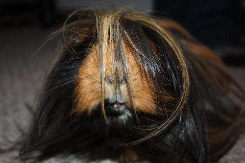 Mister..My Guinea Pig - This is Mister, my long-haired Peruvian Guinea Pig who is about 5 years old now. He has soooo much character!! When he wants a carrot I ask him for kisses and he comes to the cage and gives me a kiss!