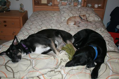 Dogs Stealing My Bed - My dogs take over my bed at night!