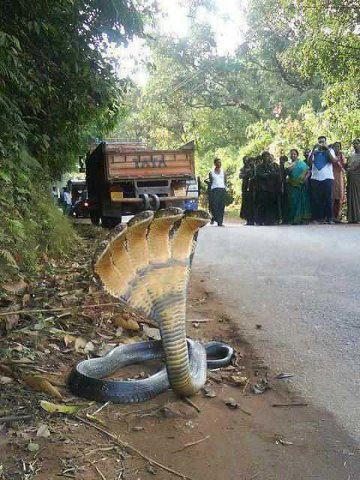 this is 5 hooded snake - this snake has 5 hoods, it was seen on road side