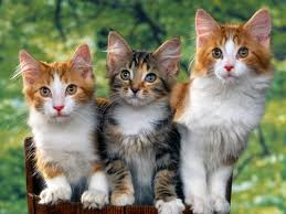 Cats - This picture shows three cute little cats. They are sitting side by side to take a picture.