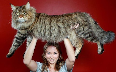 Big Kitty! - This is a Maine C**n! This breed of cat gets big like this one!