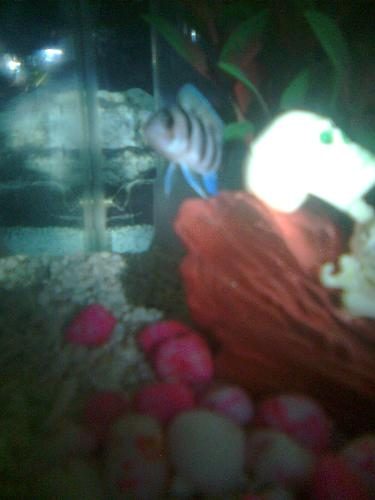 My Frontoza fish! :) - This is my new fish in my aquiarium, hiding in human skeletal decor., I bought it last week. :)