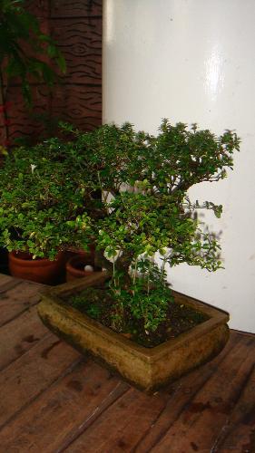 "Bonsai - Bonsai is a will-known ""miniature trees."""
