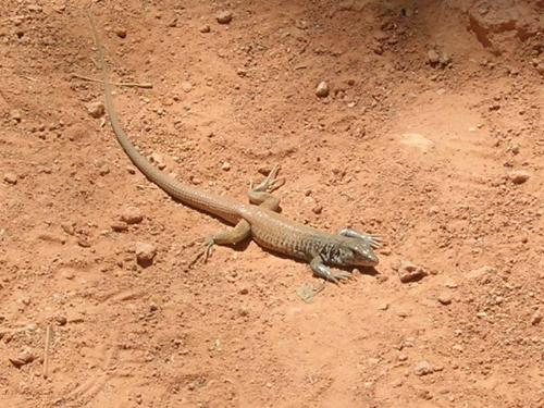 Lizard kissing the ground on late afternoons of wh - Why lizards kiss the ground on late afternoons or when the sun sets..