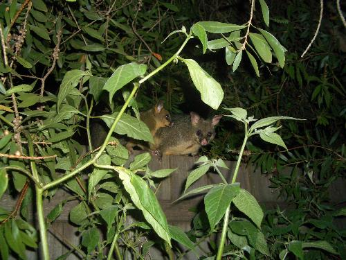Mother possum and baby. - Mother possum and baby come to eat the chilli bush leaves.
