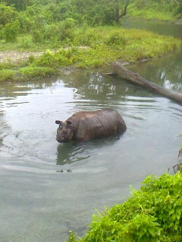A rhinoceros in front of me - This was the first animal I visited in the jungle while taking an elephant ride. Observe carefully, it was refreshing itself with the cool water.