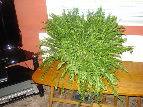 My First House Plant - A Fern For The Living-Room - My New Fern Plant In The Living-Room