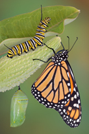 life - the life cycle of a butterfly