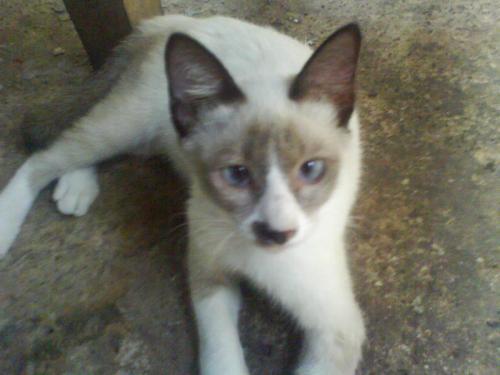 Siamese cat in memory - My sister's cat