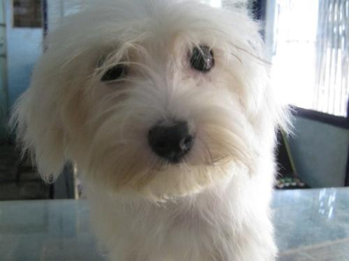 ... ones. LOL. Maltese are white small dogs, and can grow hair very long