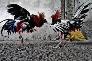 cockfight in the backyard - one shot of the chicken fighting each other!