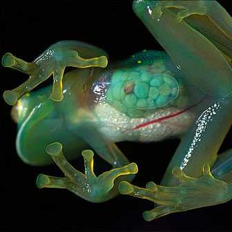 Glass Frog - Interesting to know that there are really unique creatures of God that Science cannot explain how it existed. One of which is the GLASS FROG. Yes you heard it right! The glass frogs can be found in the mountains of South America, Mexico, and Panama. These unique frogs belong to endangered list because of the slow progress of their population. Trees are cut down and forest becoming.. well whatever we can think of now. Their world is being destroyed in other words. They are just more of ordinary frogs and lays eggs in near river or streams. Of course like any other toads, survival is a must.  They can hardly be seen in the forest for they are very small and also with its green color, they sit quietly on the leaves and shrubs. Amazing isn't it?  Read more: http://scienceray.com/biology/the-glass-frog/#ixzz2KlpI5emE