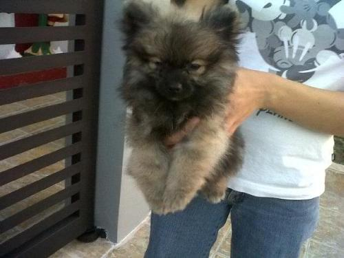 Our Pomeranian - This is our dog and we call him Shaq.