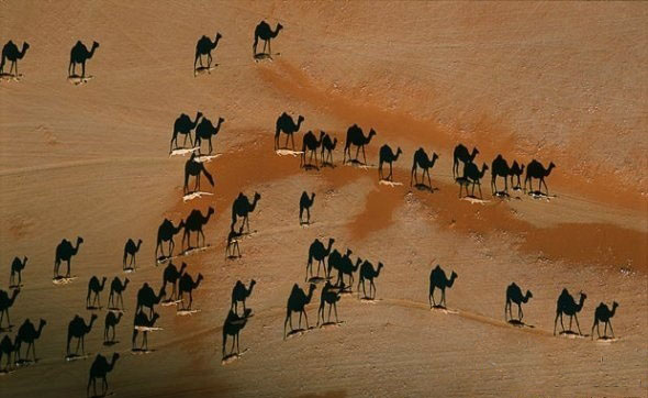 camel and shadow