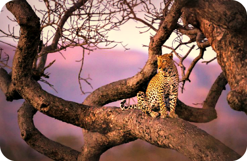 Daily Poetry and Stories Portal - A Leopard can Not Change their Spots