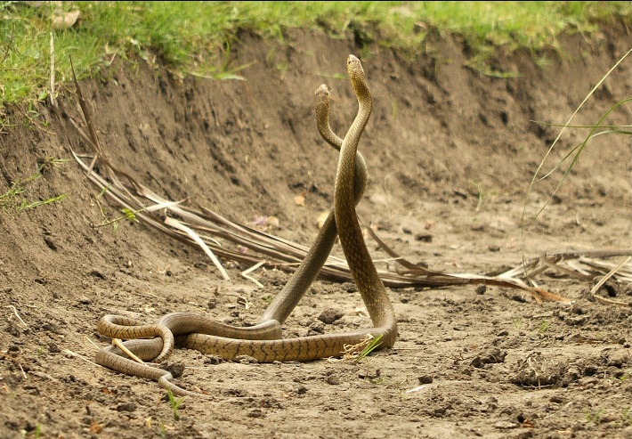 snakes mating  credit https://commons.wikimedia.org/wiki/File:Snake_Mating.jpg