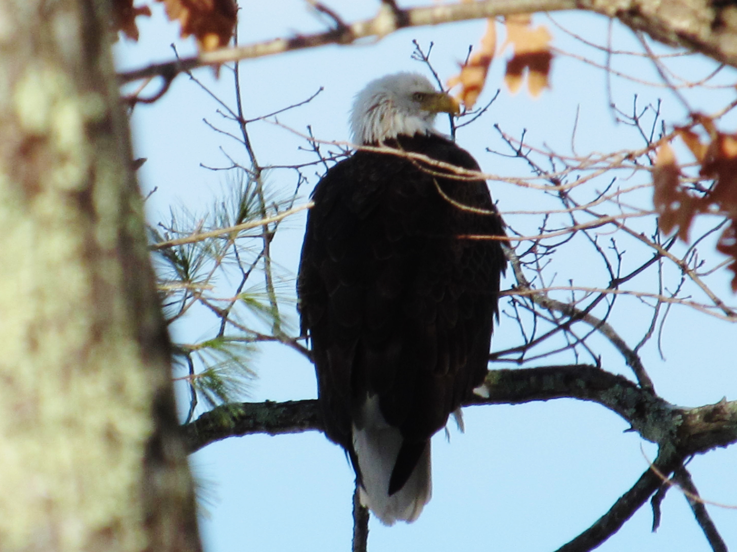 Bald Eagle at Wadleigh Pond in Lyman, ME (USA)
