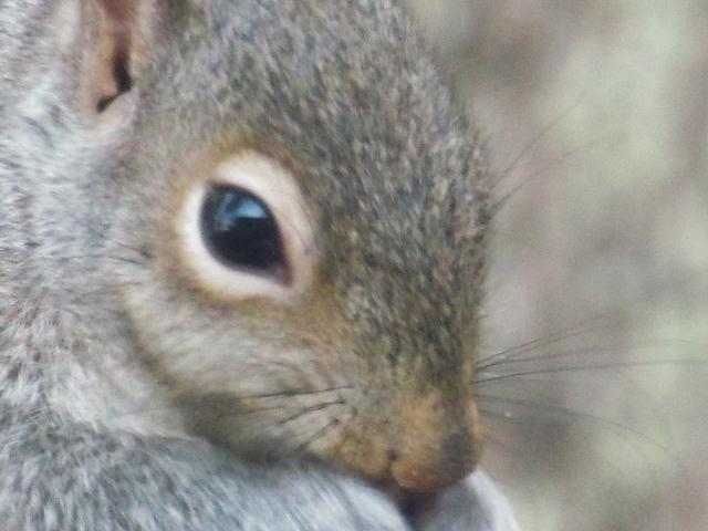 Gray squirrel eating birdseed.