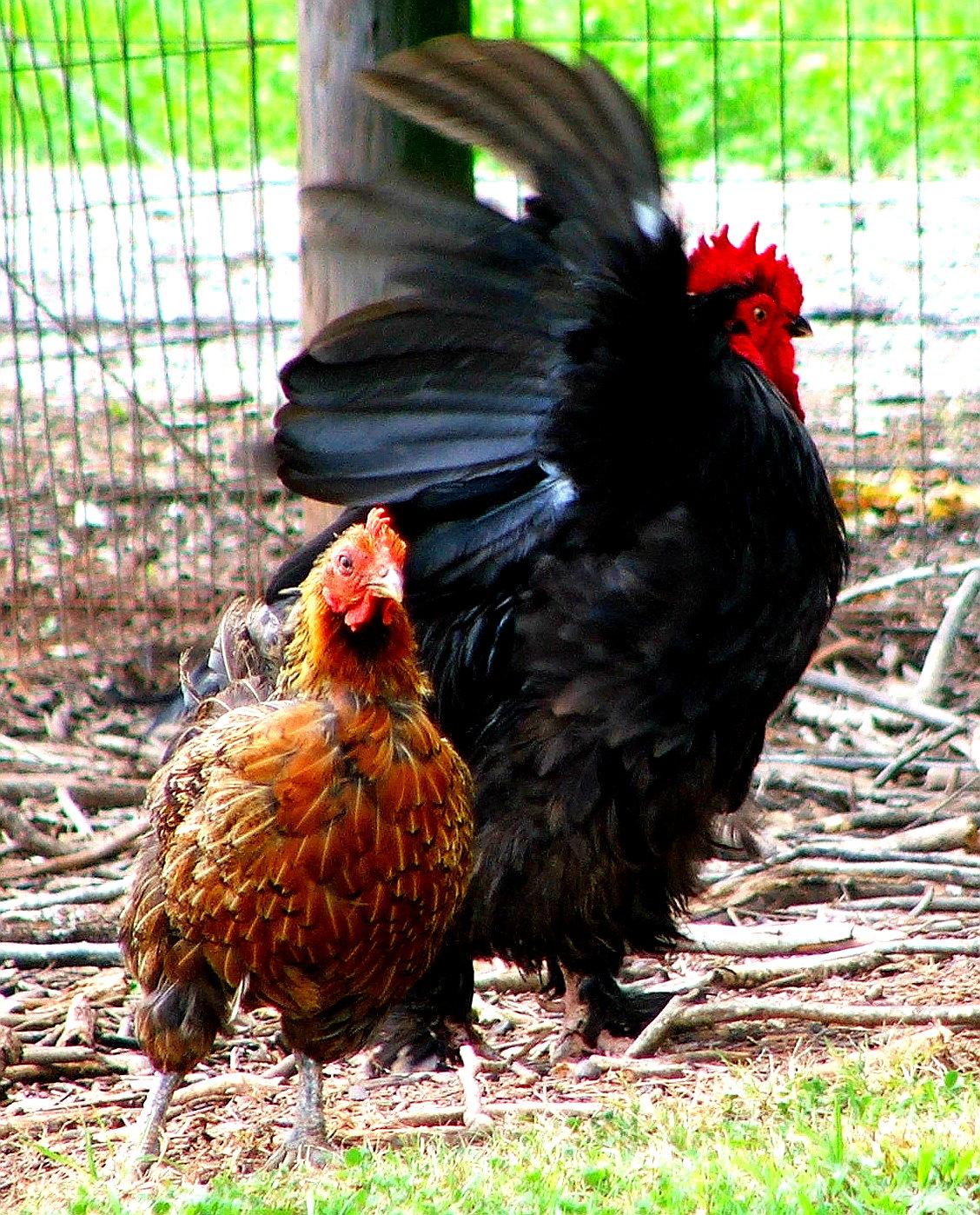Between Eggs-Between Chickens