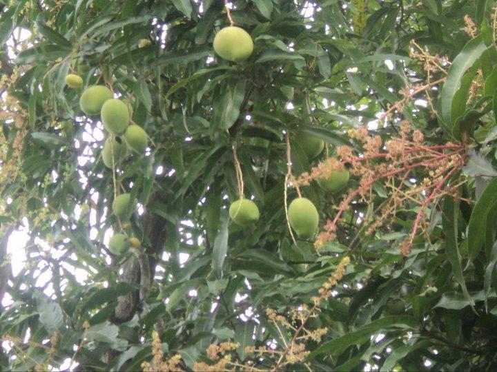 Apple mango in my yard