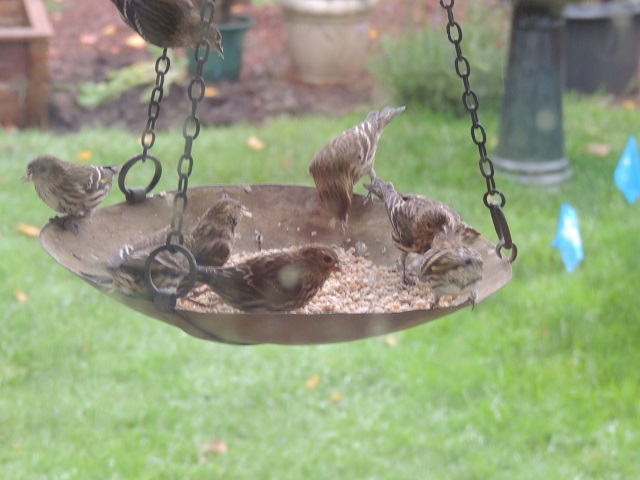 Pine Siskins on an antique scale