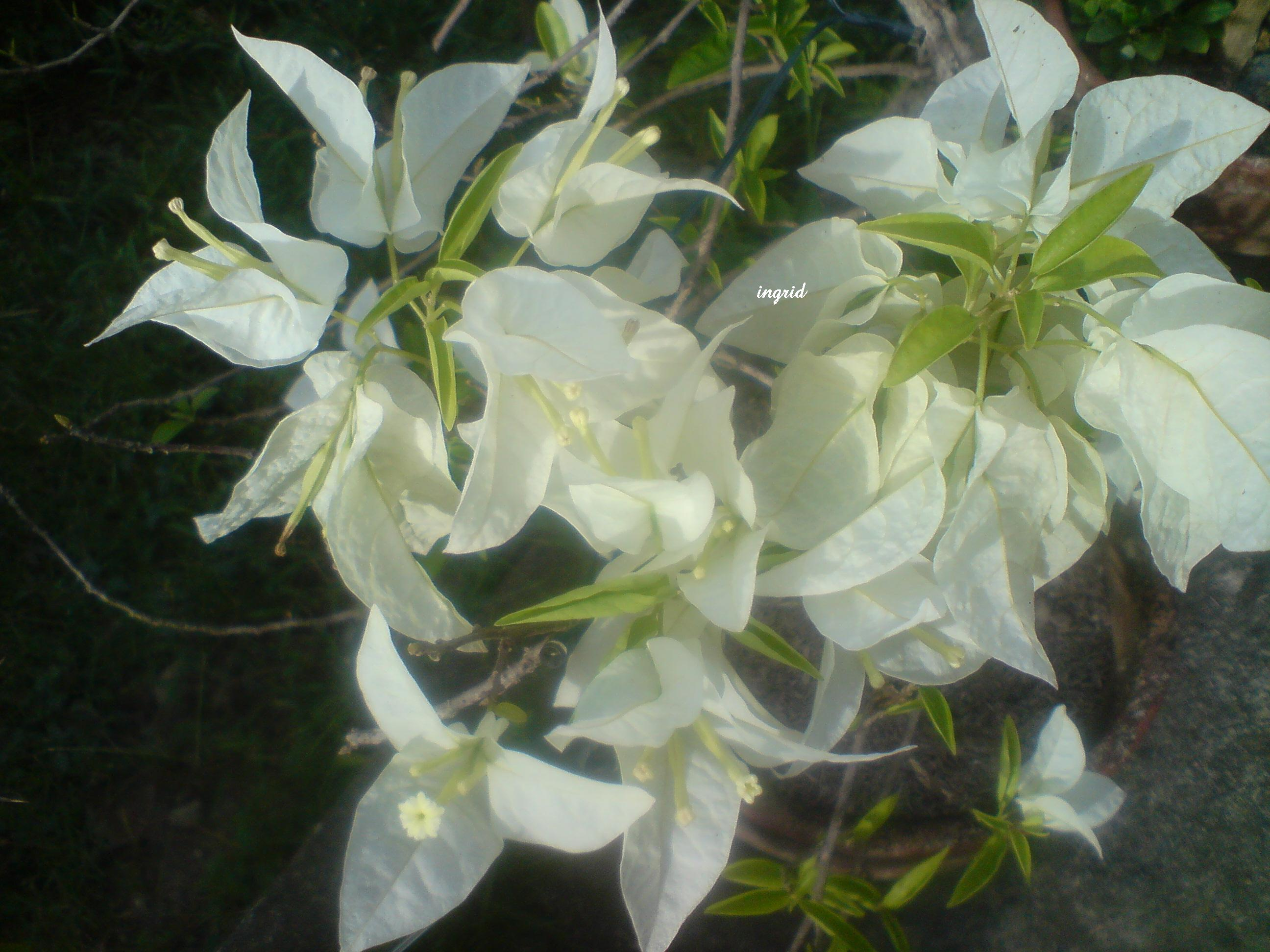 our white bougainvilliaea