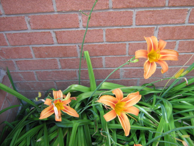 # orange lillies,