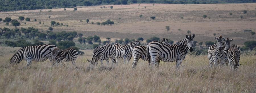 Zebra's on the plains of Africa