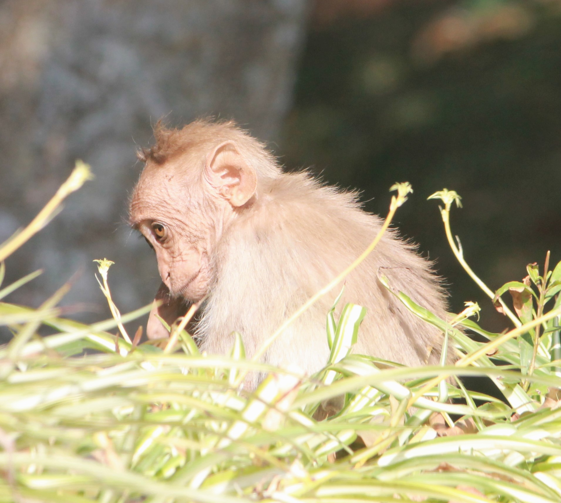 little monkey, sofspics