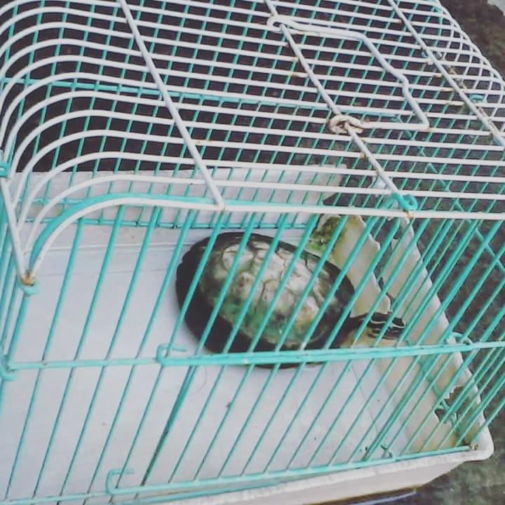 Piggy the turtle